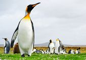King Penguins at Volunteer Point, Falkland Islands