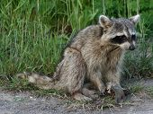 Raccoon Holding A Fish