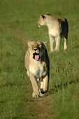 Lioness And Lioness