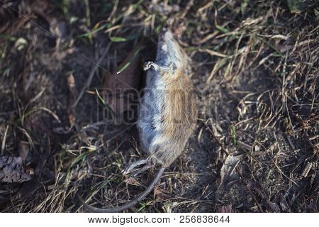 Dead Mouse On The Ground