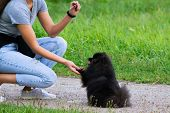 Puppy Pomeranian Spitz Listens To The Owner And Performs Functions On The Command. Obedient And Inte poster