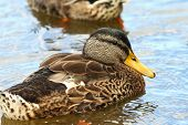 A Mallard Drake Camouflaged In Its Eclipse Plumage poster