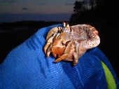 Hermit crab held in a towel, montezuma, costa rica