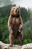 Brown Bear (ursus Arctos) Standing On His Hind Legs In The Spring Forest poster