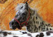 Appaloosa pony indoors portrait