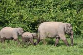 Asiatic Elephant Is Big Five Animal In Asia poster