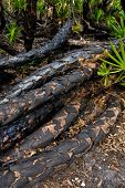 picture of saw-palmetto  - Horizontal palmetto trunks charred from a prescribed burn - JPG
