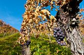 Vines And Bunches Of Grapes