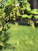 Currant Bush With Unripe Berries. Green Berries Of Currant On A Bush poster