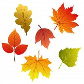 image of fall leaves  - Set of vector autumn leaves - JPG