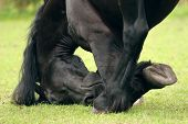 Friesian Close-Up
