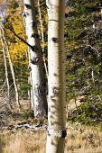 Birches Forest (Aj)