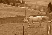 White Horse Running In Rural Scenic In Sepia Tones