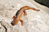 stock photo of newt  - California Newt  - JPG