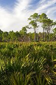 stock photo of saw-palmetto  - Saw Palmettos and Pine Trees in Dupuis Management Area - JPG