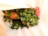 Treatment of newborn jaundice, with veg Portulaca oleracea