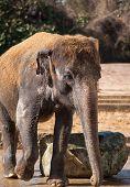 Animal Life In Asia: Asiatic Elephant
