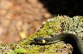 stock photo of harmless snakes  - A common water snake  - JPG