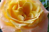 Geel Roze Close-up