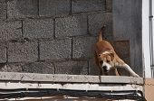 foto of growl  - barking growling pit bull over an unfinished construction - JPG