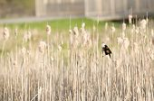 picture of bulrushes  - An image of a Bulrush in a park - JPG