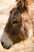 picture of horses ass  - side portrait of a donkey head in a farm - JPG