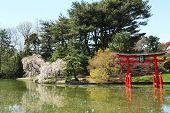 Sakura blossom at the Japanese Garden in the Brooklyn Botanic Garden