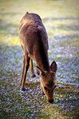 stock photo of bambi  - A young deer eating cherry blossom petals from the ground - JPG