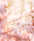 Spring blooming tree,  dreamy sunny background, beautiful fine art photo style, little white flowers