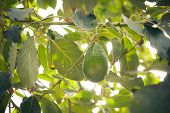 stock photo of avocado tree  - avocado fruit on branch surrounded with leaves - JPG