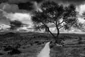 Foreboding Path - a old tree along a pathway during a stormy day. Black and white image.