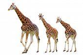 Giraffes family isolated on white