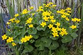 stock photo of cowslip  - flowering marsh marigold  - JPG