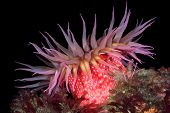 A beautiful red rose sea anemone with tentacles fully exposed feeds on tiny plankton floating in the