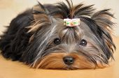 stock photo of yorkshire terrier  - Puppy yorkshire terrier lies and is sad - JPG