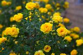 yellow rose briar bush flowers nature background wallpaper