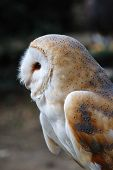 Portrait of a Common Barn Owl (Tyto Alba) in England.