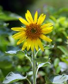 foto of shankar  - SunFlower I noticed a single sunflower near golden buddha team bangkok - JPG