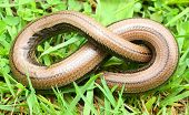 The Slow Worm or Blind Worm (Anguis fragilis).  These lizards are often mistaken for snakes. In gard