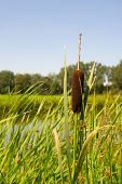 Bulrush near water in Holland