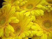 Gerberas amarillas