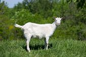 picture of baby goat  - Funny goat on green meadow - JPG