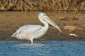 Pink-backed Pelican Eating Fish