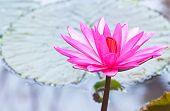 Pink Lotus Flower Blooming