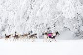 sledge dogging, Sedivacek's long, Czech Republic