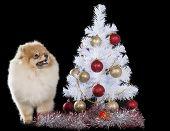 Pomeranian With Christmas Tree