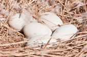 Swans Eggs In The Nest