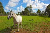 White horse grazing in a green  lawn. Pension for breeding purebred Arabian horses poster