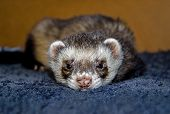 Cute Ferret Looking At Camera