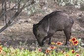 image of javelina  - Javelinas are members of the peccary family - JPG